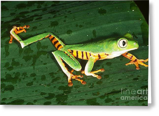 Toe Pad Greeting Cards - Tiger-striped Leaf Frog Greeting Card by Gregory G. Dimijian, M.D.