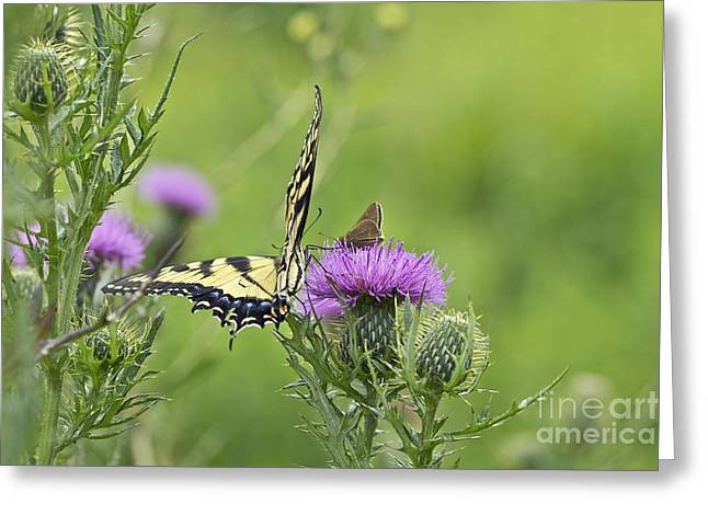 Mother Nature Greeting Cards - Tiger Swallowtail And Skipper Butterflies On Thistle Greeting Card by Mother Nature