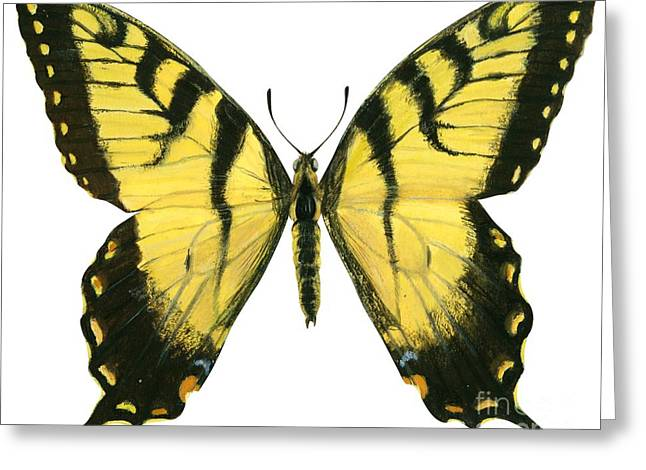 Butterflies Drawings Greeting Cards - Tiger swallowtail  Greeting Card by Anonymous
