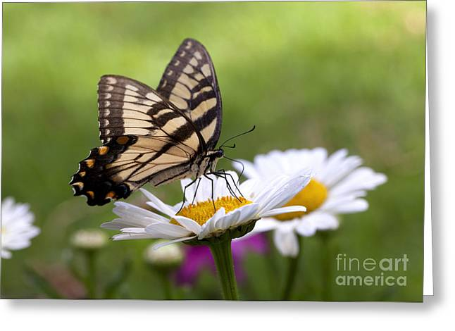 Common Tiger Butterfly Greeting Cards - Tiger Swallowtail Greeting Card by B Christopher