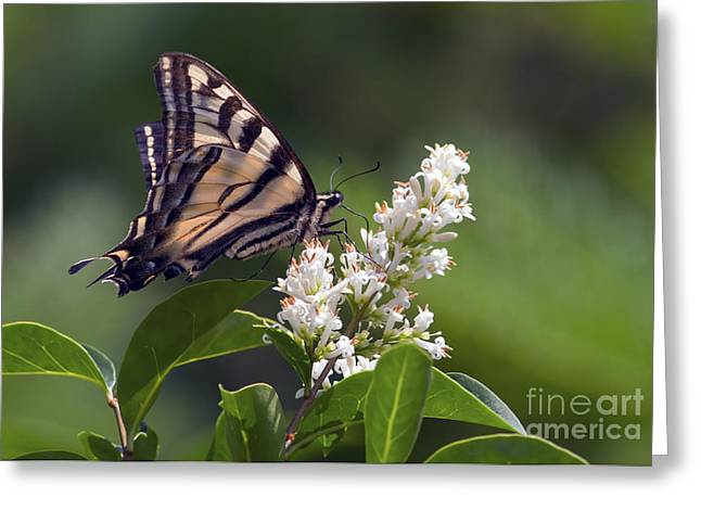 Common Tiger Butterfly Greeting Cards - Tiger Swallowtail Butterfly 2 Greeting Card by Sharon  Talson