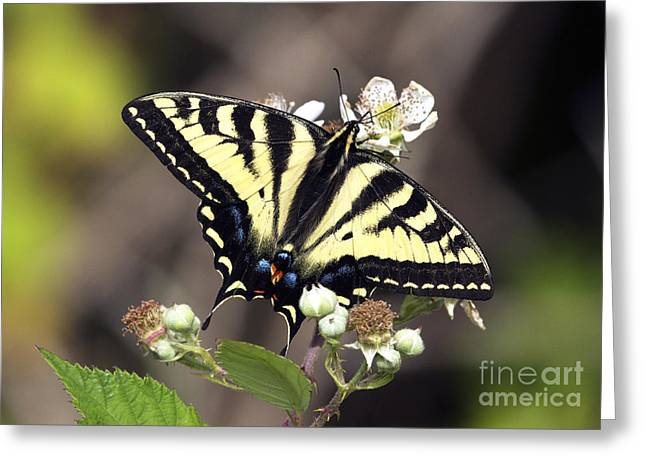 Tiger Swallowtail Greeting Cards - Tiger Swallowtail Butterfly 2a Greeting Card by Sharon  Talson