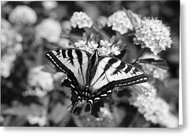 Tiger Swallowtail Greeting Cards - Tiger Swallowtail Butterfly Black and White Greeting Card by Jennie Marie Schell