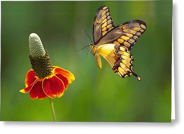 Common Tiger Butterfly Greeting Cards - Tiger Swallowtail butterfly Greeting Card by Buddy Mays