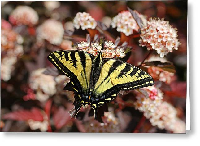 Tiger Swallowtail Greeting Cards - Tiger Swallowtail Butterfly Greeting Card by Jennie Marie Schell