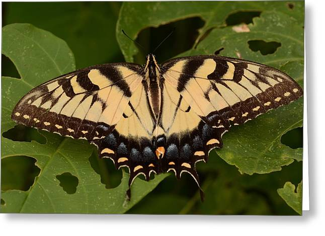 Tiger Swallowtail Butterfly Greeting Card by John Cawthron