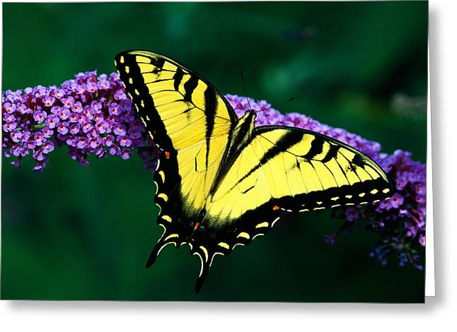 Spreading Greeting Cards - Tiger Swallowtail Butterfly On Blooming Greeting Card by Panoramic Images