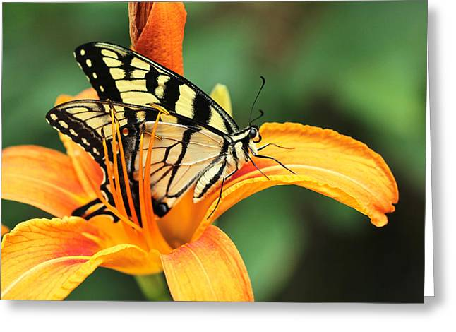 Mother Nature Greeting Cards - Tiger Swallowtail Butterfly On Daylily Greeting Card by Mother Nature