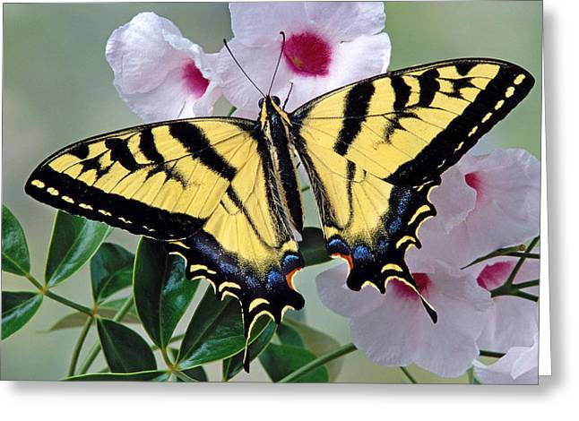 Tiger Swallowtail Butterfly Greeting Card by Robert Jensen