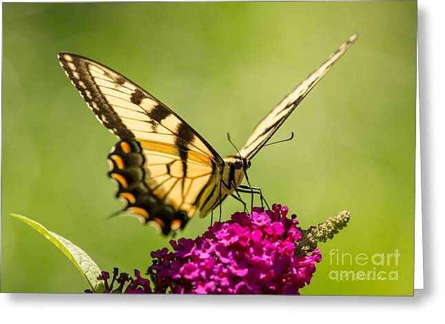 Owner Greeting Cards - Tiger Swallowtail Greeting Card by Iris Richardson