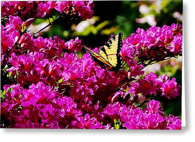 Azaleas Greeting Cards - Tiger Swallowtail on Azalea Greeting Card by Susan Savad