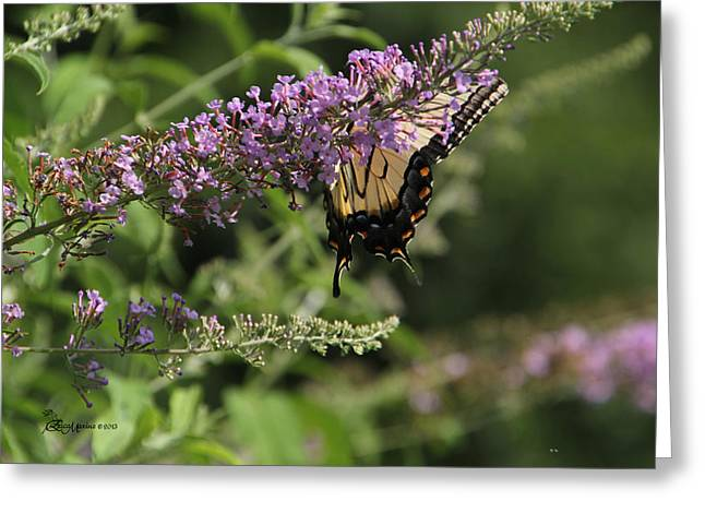 Tiger Swallowtail Digital Art Greeting Cards - TIGER SWALLOWTAIL on Butterfly Bush Greeting Card by EricaMaxine  Price