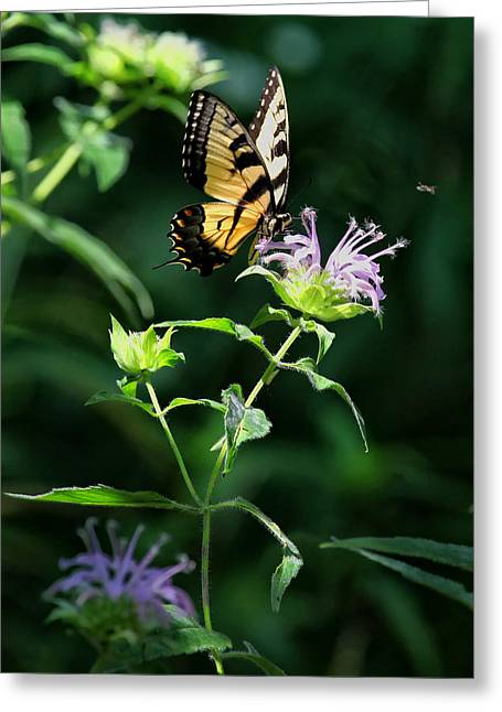 Horsemint Greeting Cards - Tiger Swallowtail on Horse Mint Greeting Card by Michael Dougherty