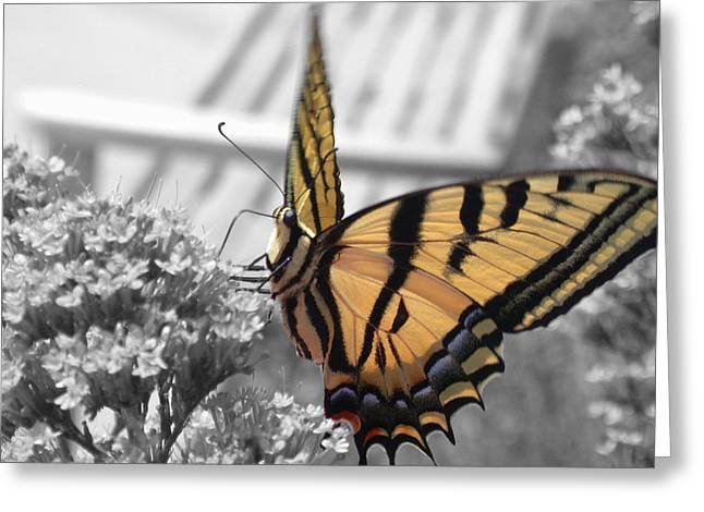 Tiger Swallowtail Greeting Cards - Tiger Swallowtail Greeting Card by Shane Bechler