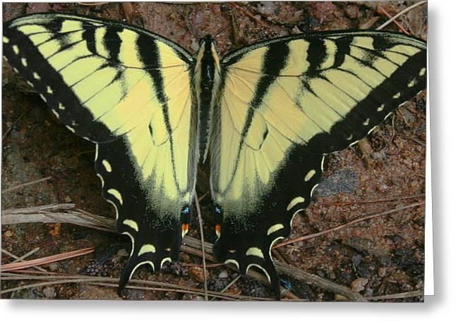 Stephen Melcher Greeting Cards - Tiger Swallowtail Greeting Card by Stephen Melcher