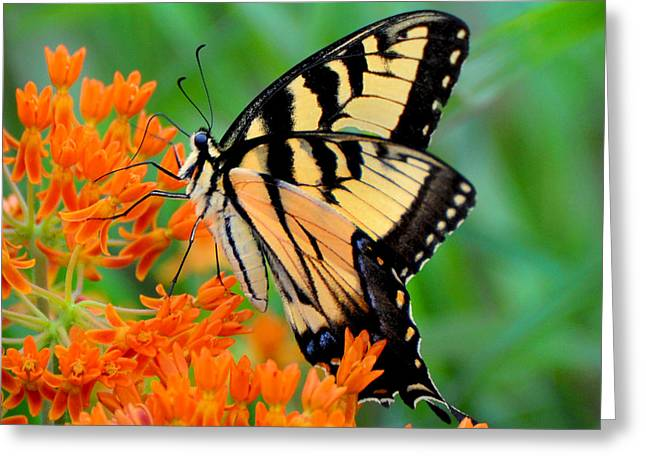 Dogwood Silhouette Greeting Cards - Tiger Swallowtail Greeting Card by Stuart Mcdaniel