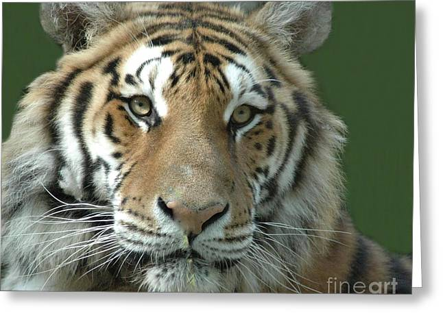 Struckle Greeting Cards - Tiger Tiger Greeting Card by Kathleen Struckle