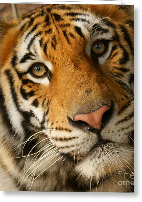 Tiger1a Greeting Card by D C