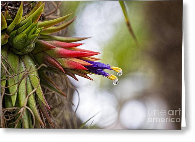Bromeliad Greeting Cards - Tillandsia 2 Greeting Card by Keith Ducker