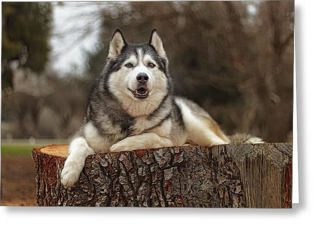 Recently Sold -  - Husky Greeting Cards - Timber Greeting Card by Brian Cross