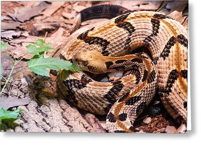 Canebrake Greeting Cards - Timber Rattler Waiting for Prey Greeting Card by Douglas Barnett