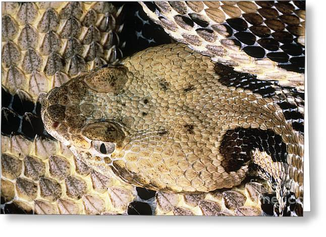 Rattlers Greeting Cards - Timber Rattlesnake Greeting Card by Jim Zipp