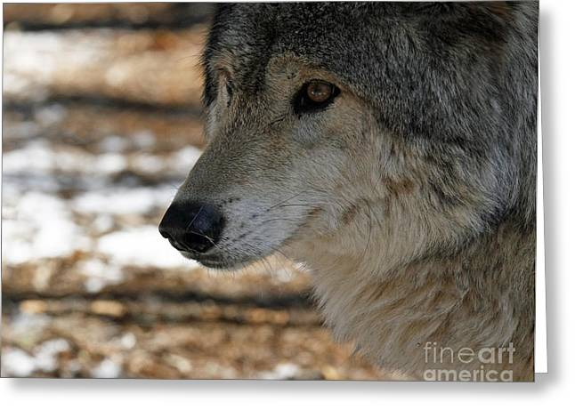 Shelley Myke Greeting Cards - Timber Wolf Alert Greeting Card by Inspired Nature Photography By Shelley Myke