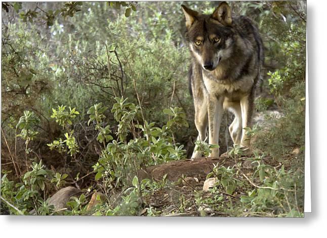 timber wolf Greeting Card by Angel  Tarantella