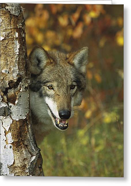 Wolf Head Greeting Cards - Timber Wolf Behind Tree Teton Valley Greeting Card by Tom Vezo