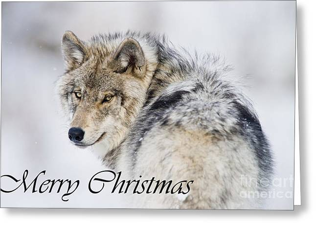 Timber Wolf Christmas Card 2 Greeting Card by Michael Cummings