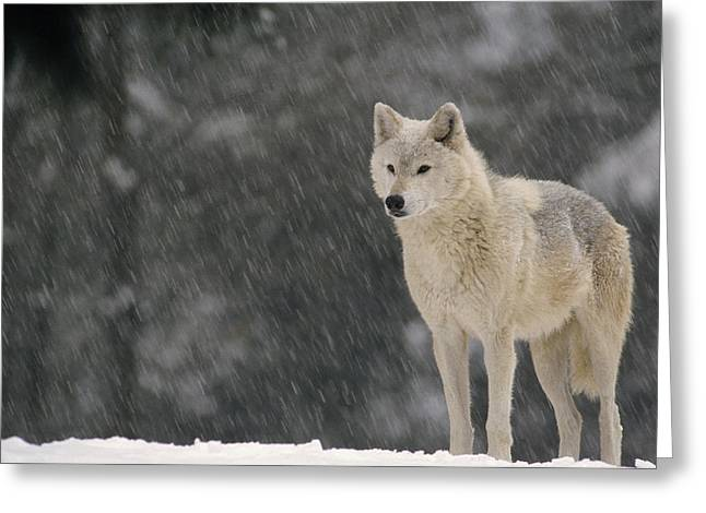 Gerry Greeting Cards - Timber Wolf Female North America Greeting Card by Gerry Ellis