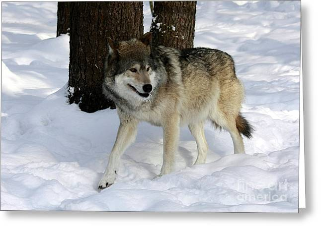 Timber Wolf In A Winter Snow Storm Greeting Card by Inspired Nature Photography Fine Art Photography