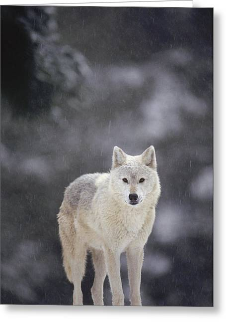 Gerry Greeting Cards - Timber Wolf In Falling Snow Greeting Card by Gerry Ellis
