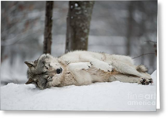Timber Wolf Pics Greeting Cards - Timber Wolf in Winter Greeting Card by Wolves Only