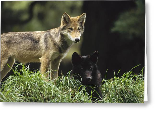 Wolf Head Greeting Cards - Timber Wolf Juveniles North America Greeting Card by Gerry Ellis