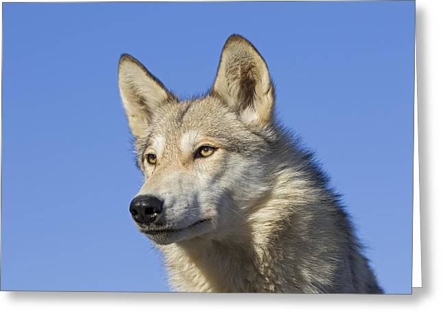 Wolf Head Greeting Cards - Timber Wolf Minnesota Greeting Card by Ingo Arndt