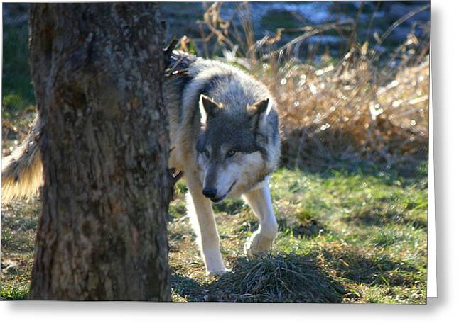 Wildlife Photos Greeting Cards - Timber Wolf Greeting Card by Neal  Eslinger