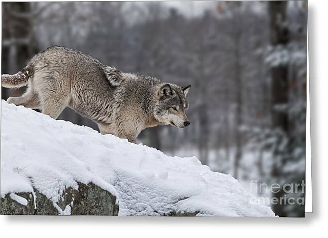 Timber Wolf On Hill Greeting Card by Wolves Only