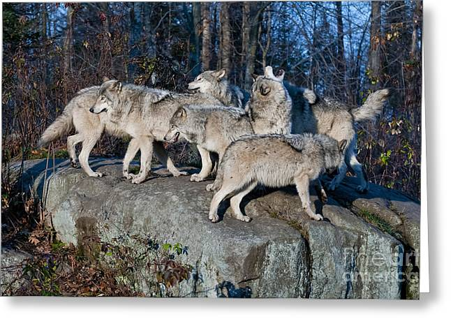 Timber Wolf Pics Greeting Cards - Timber Wolf Pack Greeting Card by Wolves Only