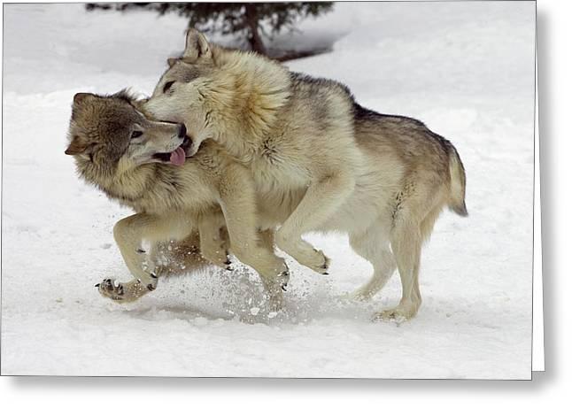 Timber Wolf  Pair Montana Greeting Card by Matthias Breiter