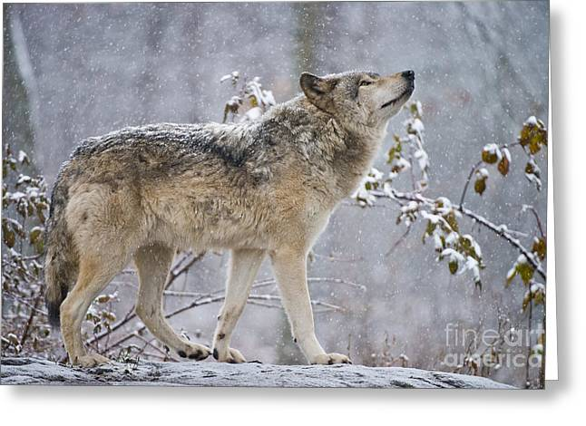 Timber Wolf Pics Greeting Cards - Timber Wolf Pictures 188 Greeting Card by Wolves Only