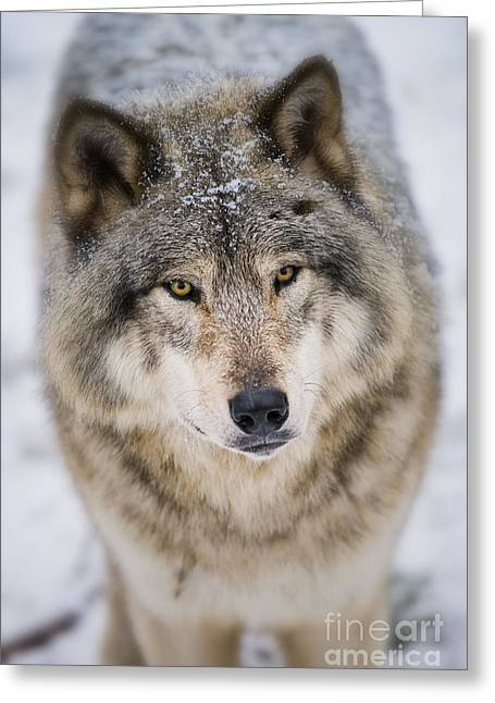 Timber Wolf Pictures 254 Greeting Card by Wolves Only