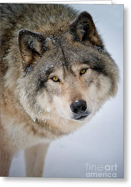 Timber Wolf Pics Greeting Cards - Timber Wolf Pictures 255 Greeting Card by Wolves Only