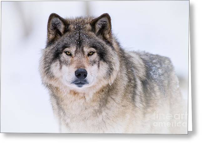 Timber Wolf Pics Greeting Cards - Timber Wolf Pictures 256 Greeting Card by Wolves Only