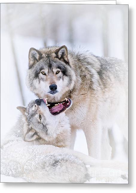 Timber Wolf Pictures 56 Greeting Card by Wolves Only