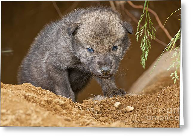 Timber Wolf Pictures 782 Greeting Card by World Wildlife Photography