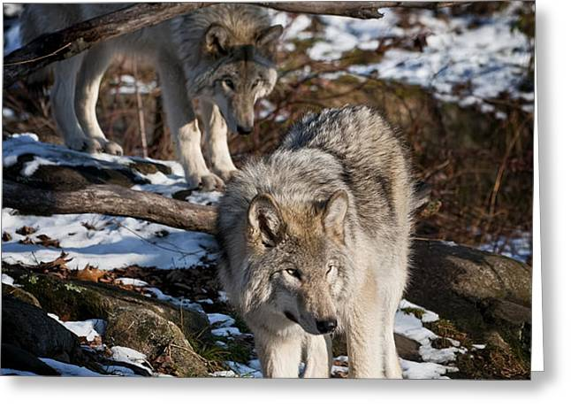 Timber Wolf Pictures 957 Greeting Card by World Wildlife Photography