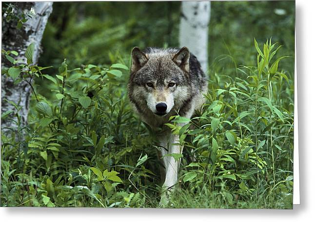 Wolf Head Greeting Cards - Timber Wolf  Pine County Minnesota Greeting Card by Konrad Wothe