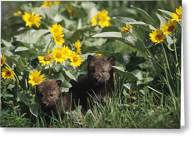 Wolf Head Greeting Cards - Timber Wolf Pups And Flowers North Greeting Card by Gerry Ellis