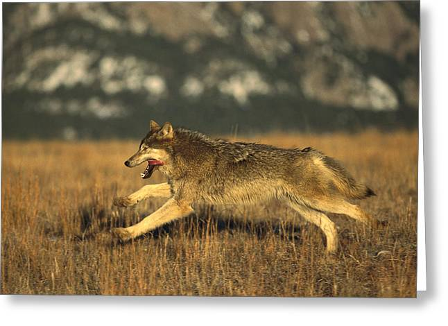 Wolves Photographs Greeting Cards - Timber Wolf  Running Greeting Card by Konrad Wothe